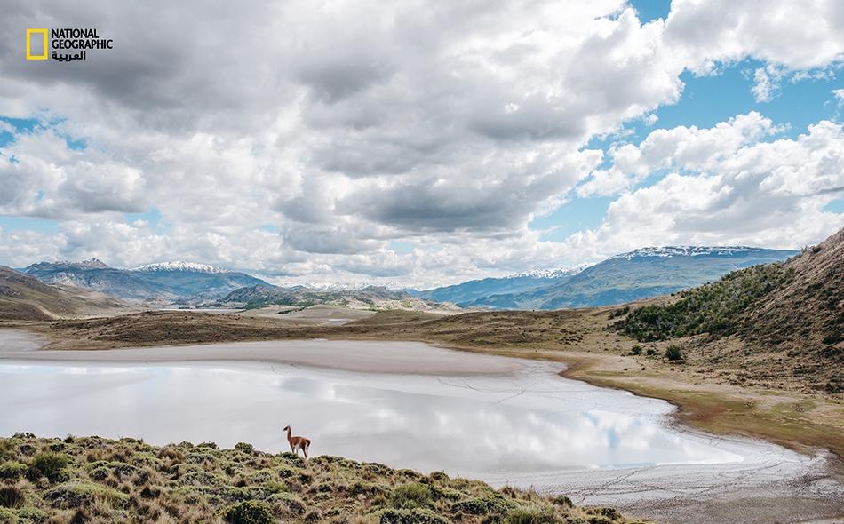 """يتوقف غوناقٌ، وهو النسخة البرية من حيوان اللاما، للشرب في """"بحيرة سيكا"""" لدى """"منتزه باتاغونيا الوطني"""" في تشيلي. تبلغ مساحة هذا المنتزه 300 ألف هكتار، ويضم الأراضي العامة والممتلكات الخاصة التي تبرعت بها """"مؤسسة تومكينز لصون الطبيعة""""."""