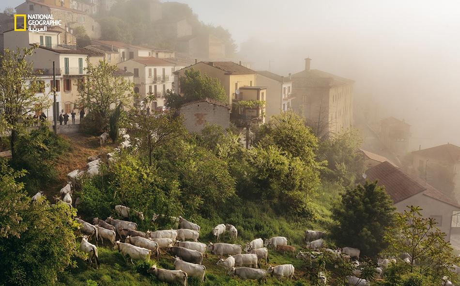 """قطيع أبقار من 300 رأس يدخل """"كاستروبيانانو""""، خلال آخر يوم لعبور """"كولانتونوس""""."""