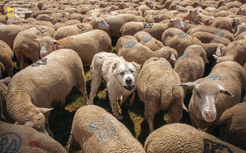 """كلب رعي من """"أبروزي"""" يراقب قطيعه خلال معرض سنوي لقطعان الغنم في """"فونتي فيتيكا""""."""