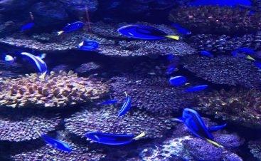 """أكد علماء الأحياء البحرية لدى """"كيرنز أكواريوم"""" في كوينزلاند بأستراليا، أن الأسماك """"أصبحت كسولة وغير مهتمة بالبيئة المحيطة بها، بعد أن فقدت على ما يبدو التواصل مع الزائرين عبر الزجاج"""". وقررت بعض الأسماك الاختباء في الزوايا المظلمة من الحوض، في حين توقفت..."""