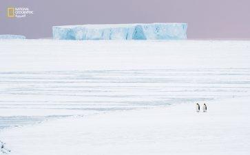 """في فصل الخريف، تبدأ طيور البطريق الإمبراطوري رحلتها التي تمتد 10 كيلومترات تقريبًا من جنوب الأطلسي إلى مناطق تكاثرها في """"خليج أتكا"""". لكن المناخ الآخذ في الاحترار يُذيب الجليد البحري الذي تحتاج إليه هذه الطيور للعثور على شركاء للتزاوج، وللتناسل،..."""
