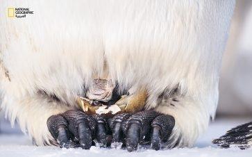 في أواخر شهر يوليو، تظهر مخالب صغيرة وعين واحدة ونتفة من الريش الرطب، مع بداية اختراق الفرخ قشرةَ بيضته؛ في عملية يمكن أن تستغرق ساعات. وطوال الوقت، يختلس الأب النظر مرارًا وتكرارا تحت كيس حضنته المكسوة بالريش لمراقبة سير العملية.