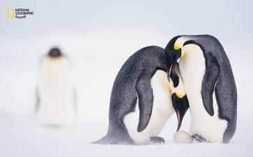 قبل مغادرة هذه الأنثى إلى البحر، تساعد شريكها في نقل بيضتها على قدميه. ينبغي أن يتم هذا الروتين الدقيق بسرعة، وإلا فإن البيضة يمكن أن تتجمد. على الرغم من أنها سترحل شهرين تقريبًا، تظل روابطها بشريكها متينة؛ إلى أن يجتمع شملهما في شهر أغسطس.