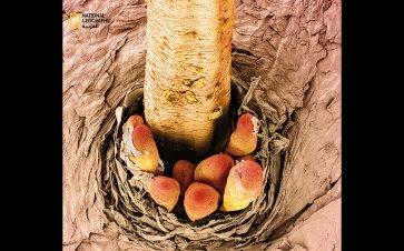 يمضي عثّ الوجه البشري معظم حياته في مسامنا. لتقدير حجم العثّ: نرى في هذا المشهد ذيول عثّات وقد برزت من مسمّ بجانب هدبة عين. ويخرج العث من مكانه مرة واحدة على الأقل خلال حياته التي تطول نحو أسبوعين، ويكون ذلك للتناسل. ويرجّح العلماء أن هذه المخلوقات...