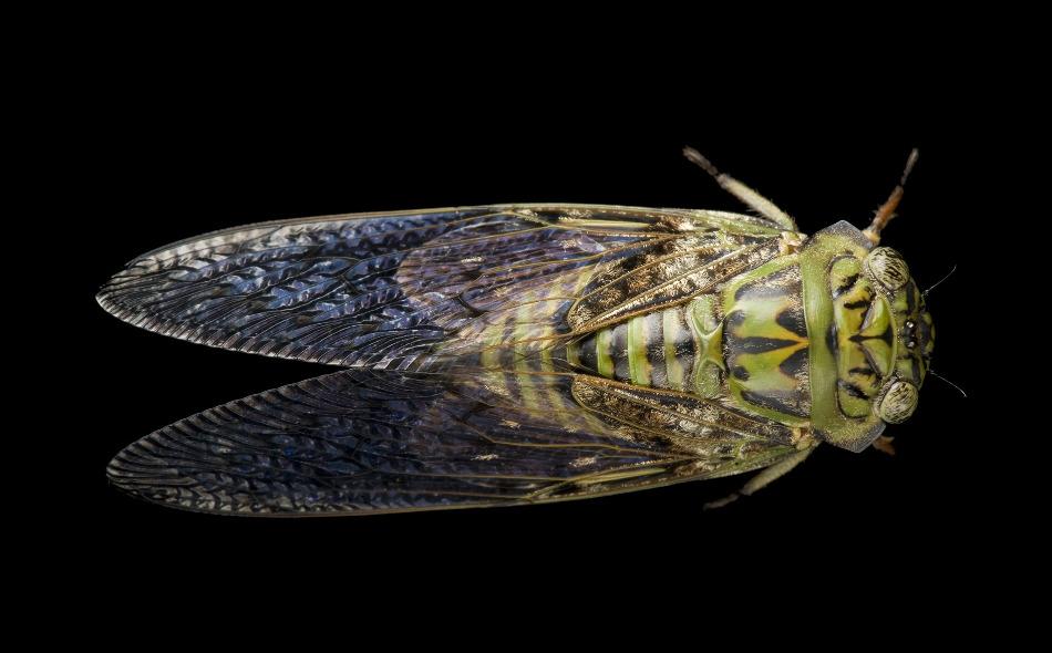 """تظهر حشرات """"الزيز"""" بشكل متكرر، ويكمن اللغز المعقد في أن نوعها الدوري يظهر كل 13 أو 17 عامًا فقط، ويفترض العلماء أن ذلك يحدث لتجنب التزامن مع دورات حياة حيوانات أخرى يمكن أن تفترسها. الصورة: Joel Sartore, National Geographic Photo Ark"""