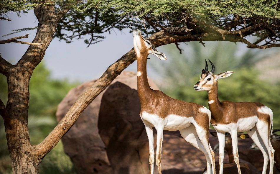 """تنفذ """"حديقة الحيوانات بالعين"""" في دولة الإمارات برنامجا لإكثار 80 فردًا من الداما الإفريقي التي تستوطن أرجاء حديقتها. ويعد الداما الإفريقي من الغزلان المهددة بالانقراض، حيث لا تتجاوز أعداده في البرية 100 غزال. الصورة: Avelinoken"""