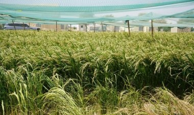 تعد تجارب زراعة الأزر الإماراتية الكورية في بيئة صحراوية الأولى من نوعها في منطقة الشرق الأوسط. وبحسب فريق عمل إدارة التنمية الريفية الكورية الجنوبية، يتوقع أن تصل الإنتاجية لكل 1000 متر مربع من المساحة التي تطبق عليها الزراعة التجريبية إلى 763 كيلو...