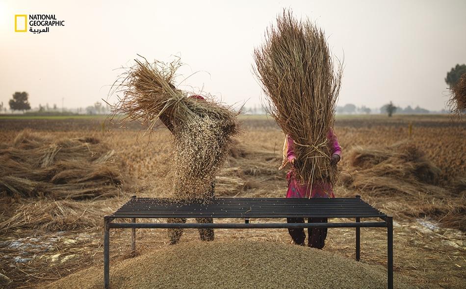 يحصد المزارعون الأرز في البنجاب، قلب الهند الزراعي النابض.