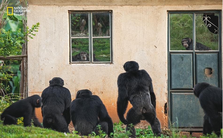 """في شهر يوليو من عام 2014، قَتل قردُ شمبانزي صبيًا دارجًا يدعى """"موجوني سيماتا"""" في قرية """"كياماجاكا"""" الأوغندية. بعد أن غادرت عائلةُ الصبي القريةَ، ظلت قرَدة الشمبانزي هناك، بل إنها تحدّق بكل جرأة في صورتها المعكوسة على نوافذ بيت عائلة سيماتا المهجور."""