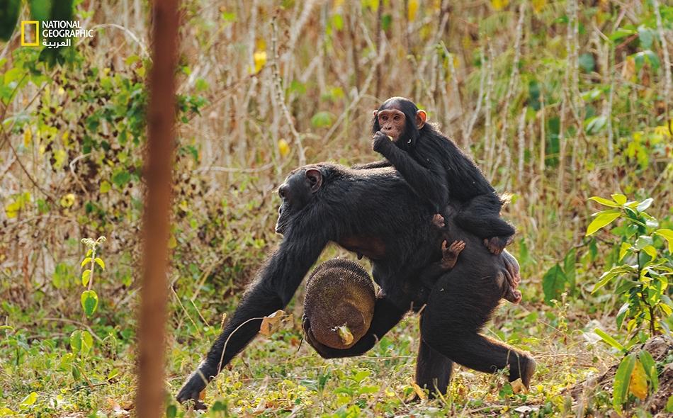 """تسطو قرَدة الشمبانزي على حقول أهالي القرى وأشجارهم لتسرق الذرة وثمار المانجو والبابايا وكذا غذاءها المفضل، الكاكايا. تنتمي أنثى الشمبانزي هذه وصغيراها إلى مجموعة من 22 قردًا تعيش منقطعة في رقعة غابوية غير بعيد عن قرية """"مبارانغاسي"""". ويتمسك رضيعها..."""