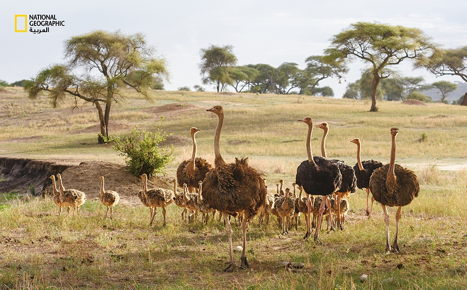 """ثلاث إناث من النعام (بريش بني)، وثلاثة ذكور (بريش أسود) و 42 فرخًا تراقب باحتراس ابن آوى وغيره من الحيوانات المفترسة لدى """"منتزه تارانغيري الوطني"""" في تنزانيا. قد تبقى الفراخ التي تفقس في أعشاش جماعية، مجتمعةً مدة تصل إلى عام أو عامين."""