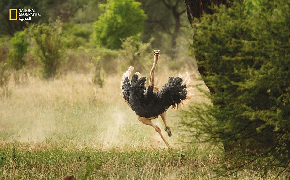 تُعدّ النعامة أسرع حيوان ثنائي القدمين في العالم، إذ رُصدت وهي تركض بسرعة كبيرة بلغت 70 كيلومترا في الساعة، ويمكنها الركض مسافات طويلة بسرعة تناهز الـ 48 كيلومترًا في الساعة. فَمَا سِرّ سرعتها؟ إنها عضلات الفخذين الضخمة، والساقان النحيفان الطويلان،...