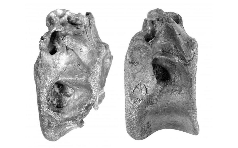 """قال علماء الحفريات إن الديناصور الجديد، الذي أطلق عليه اسم """"فيكتاروفيناتور إينوبيناتوس""""، عاش خلال العصر الطباشيري قبل 115 مليون عاما، وكان طوله يُقدر بما يصل إلى أربعة أمتار. ويشير الاسم إلى فراغات هوائية كبيرة في العظام التي عثر عليها على شاطئ في..."""